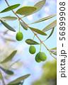 オリーブの木のアップ 56899908