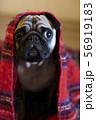 毛布にくるまった犬 56919183