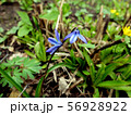 Two  small blue flowers in the grass close up 56928922