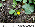Bud of small yellow flower close up 56928984