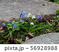 Small white and blue flowers grow between stones 56928988