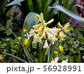 Inflorescence of yellow flowers in the garden 56928991