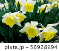 White and yellow nascissus flowers in the meadow 56928994