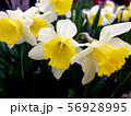 White and yellow nascissus flowers close up 56928995