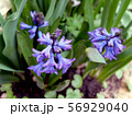 Violet flowers in the foliage,  top view 56929040