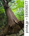石垣から生え出る杉の大木001 56936077