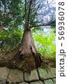 石垣から生え出る杉の大木002 56936078