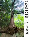 石垣から生え出る杉の大木003 56936079