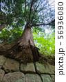 石垣から生え出る杉の大木004 56936080