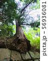 石垣から生え出る杉の大木005 56936081