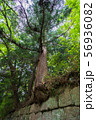 石垣から生え出る杉の大木006 56936082