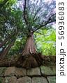 石垣から生え出る杉の大木007 56936083