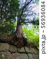 石垣から生え出る杉の大木008 56936084