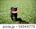 フリスビーで遊ぶ犬 56949778