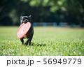 フリスビーで遊ぶ犬 56949779
