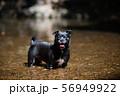 見つめる犬 56949922