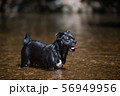 見つめる犬 56949956