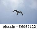 空を飛ぶカモメ 56962122