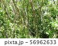 光が差し込む雑木林(沖縄) 56962633