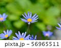 ブルーデージー 56965511