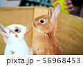 餌を取り合ううさぎ ふれあい動物園 56968453