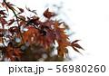 秋冬の紅葉 もみじ 56980260