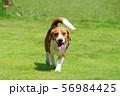 ビーグル犬 56984425