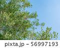 オリーブの木 56997193