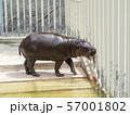 コビトカバ 57001802