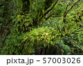 木の幹に群生するシダ 57003026