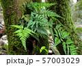 木の幹に生えるシダ 57003029