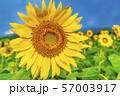 三ノ倉高原のひまわり 福島喜多方 57003917