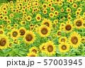 三ノ倉高原のひまわり 福島喜多方 57003945