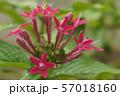 ペンタスの花 57018160