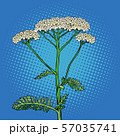 yarrow milfoil flower medicinal plant. Achillea millefolium 57035741