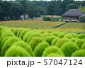 グリーンのコキアと花畑 57047124