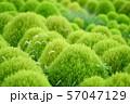 グリーンのコキア 57047129