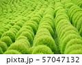 グリーンのコキア 57047132