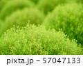 グリーンのコキア 57047133