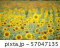 ひまわり畑 57047135