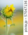 咲始めのひまわり 57047136