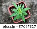 Marijuana lin pod with cbd thc chemical structure 57047627