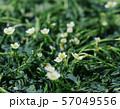 夏・梅花藻 57049556