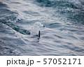 イルカ 57052171