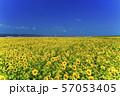 満開の向日葵 やまもとひまわり祭り 宮城山元 57053405