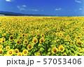 満開の向日葵 やまもとひまわり祭り 宮城山元 57053406