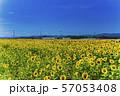 満開の向日葵 やまもとひまわり祭り 宮城山元 57053408