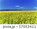 満開の向日葵 やまもとひまわり祭り 宮城山元 57053411