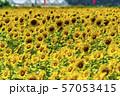 満開の向日葵 やまもとひまわり祭り 宮城山元 57053415