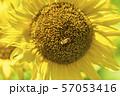 満開の向日葵 やまもとひまわり祭り 宮城山元 57053416